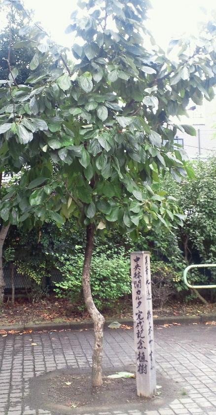 柿の木通り公園の柿の木